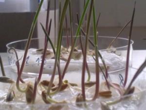 Weizenkeimlinge in Petrischälchen